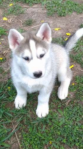 4 Pure Bred Wolf Grey Husky Pups 1 Male 3 Females Born 29 1