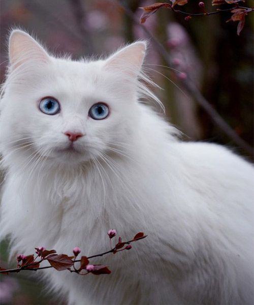 Cute White Cat With Blue Eyes Chunk Of Styes Angora Cats Cat With Blue Eyes Pretty Cats