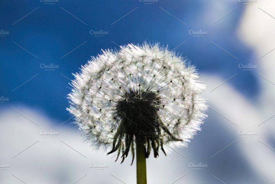 Beautiful Balls Of White Dandelions In 2020 White Dandelion Dandelion Beautiful