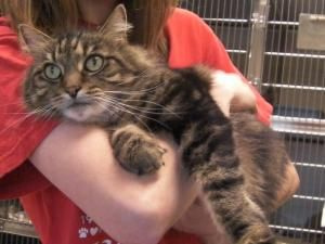 Teddy is an adoptable Maine Coon Cat in Woodbridge, NJ.  ...