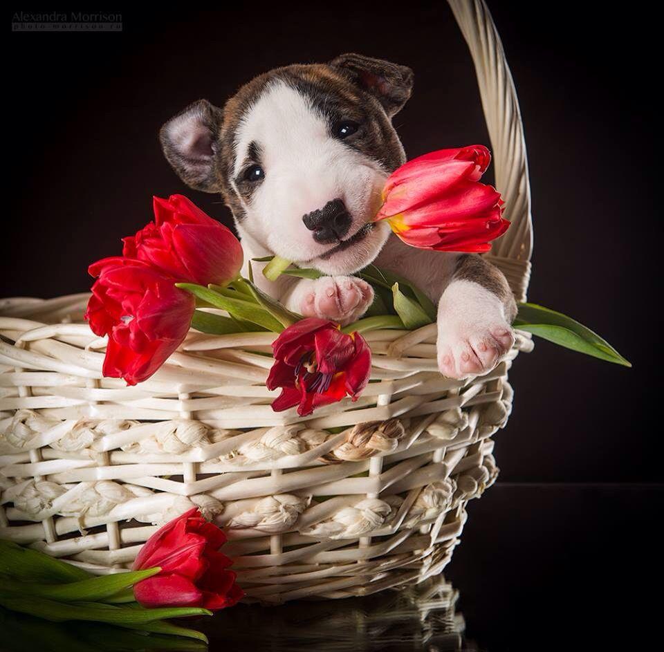Bull Terrier Puppy Bull Terrier Art Bull Terrier Puppy