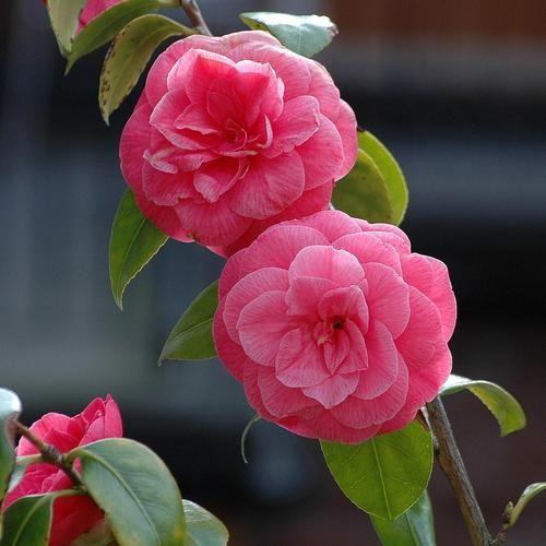 Camélia : plante d\'ombre ou mi ombre   Les plantes qui préfèrent l ...