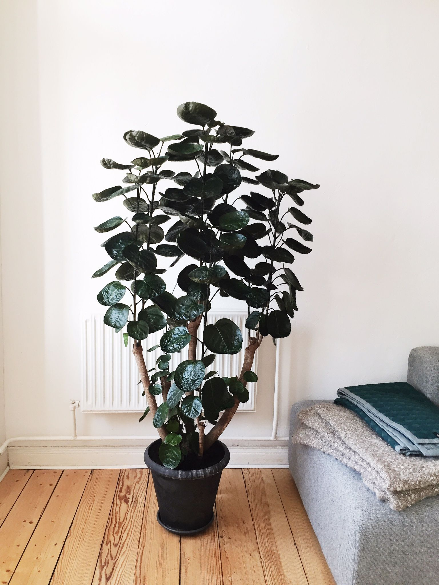 Polyscias Aralia Fabian plant Plants, Interior plants