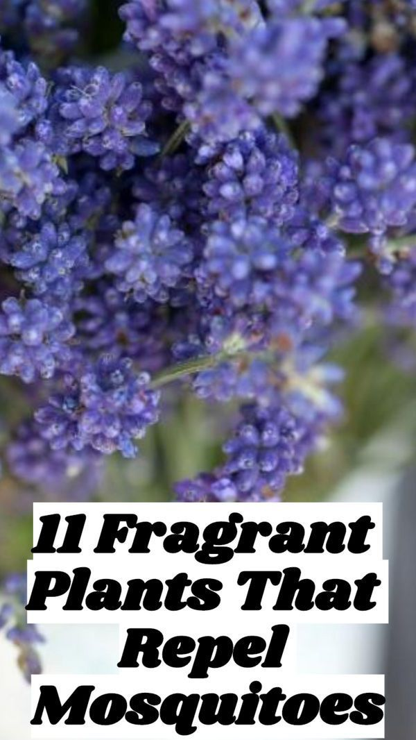 11 Fragrant Plants That Repel Mosquitoes #plantsthatrepelmosquitoes