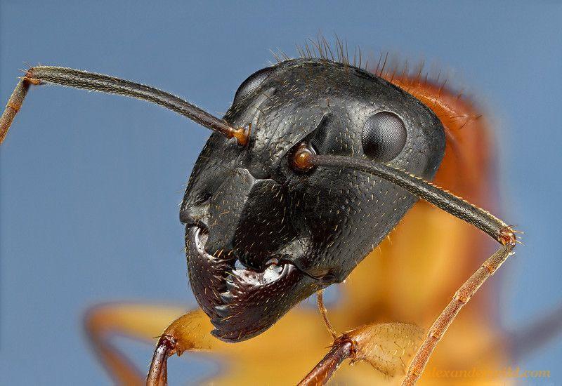Camponotus Nigriceps Ants Sugar Ants Camponotus