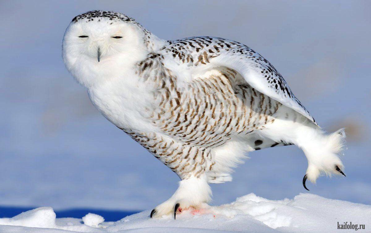 Полярная сова и описание для детей 7
