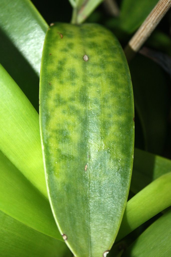 орхидея фаленопсис болезни и вредители фото