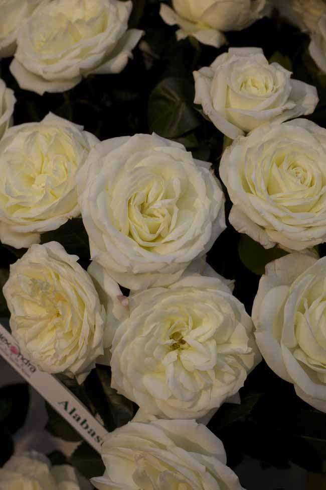 Alabaster Garden Roses By Alexandra Farms