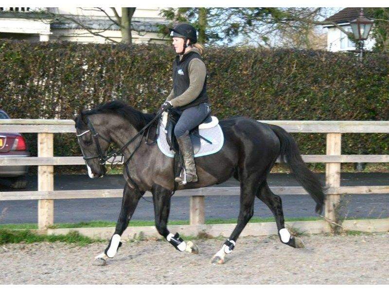 Stunning 15hh sixyearold black gelding for sale
