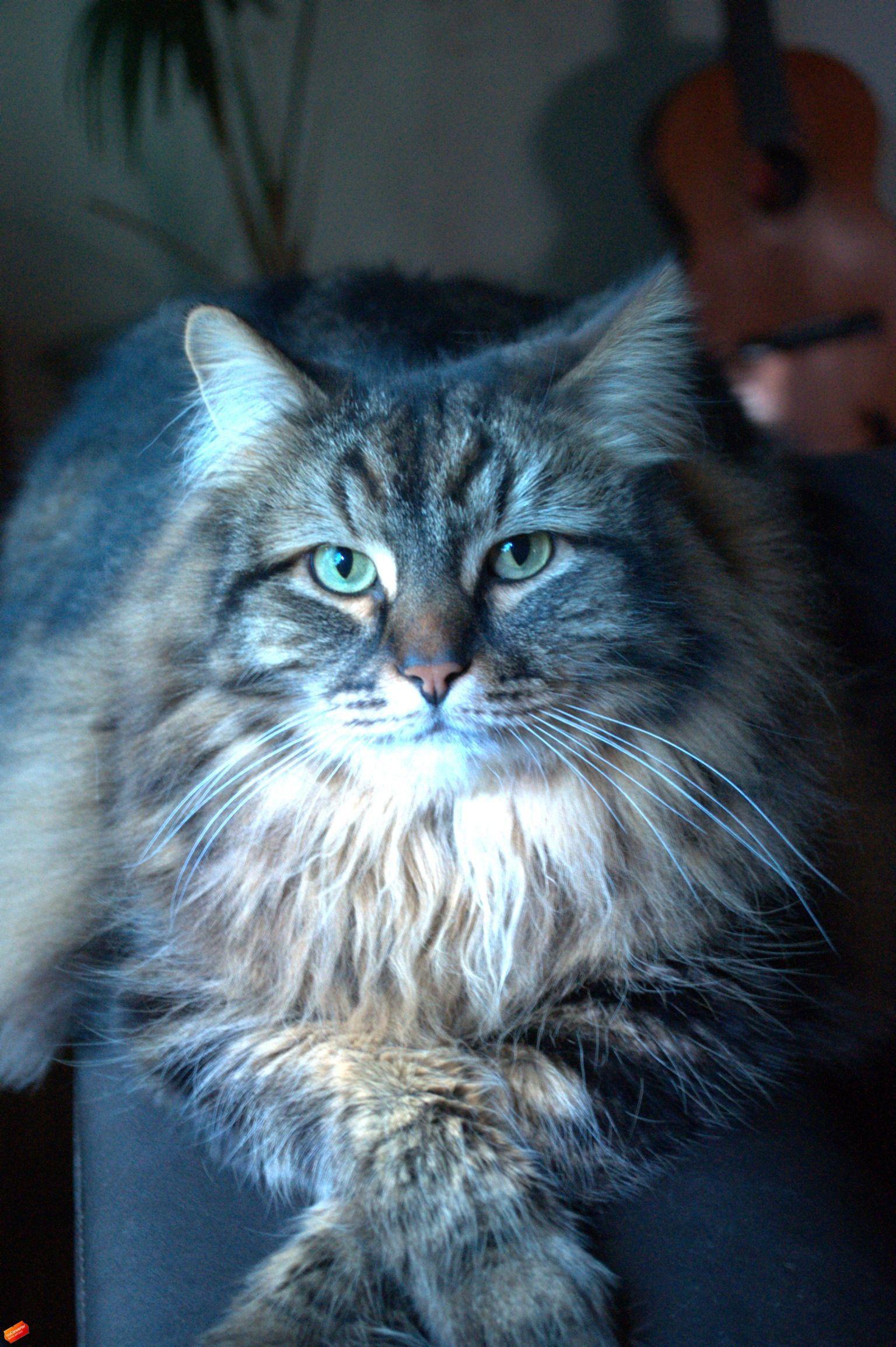 Photo of Mi gato siberiano Soy alérgico a los gatos, pero este tipo no produce reacciones alérgicas …
