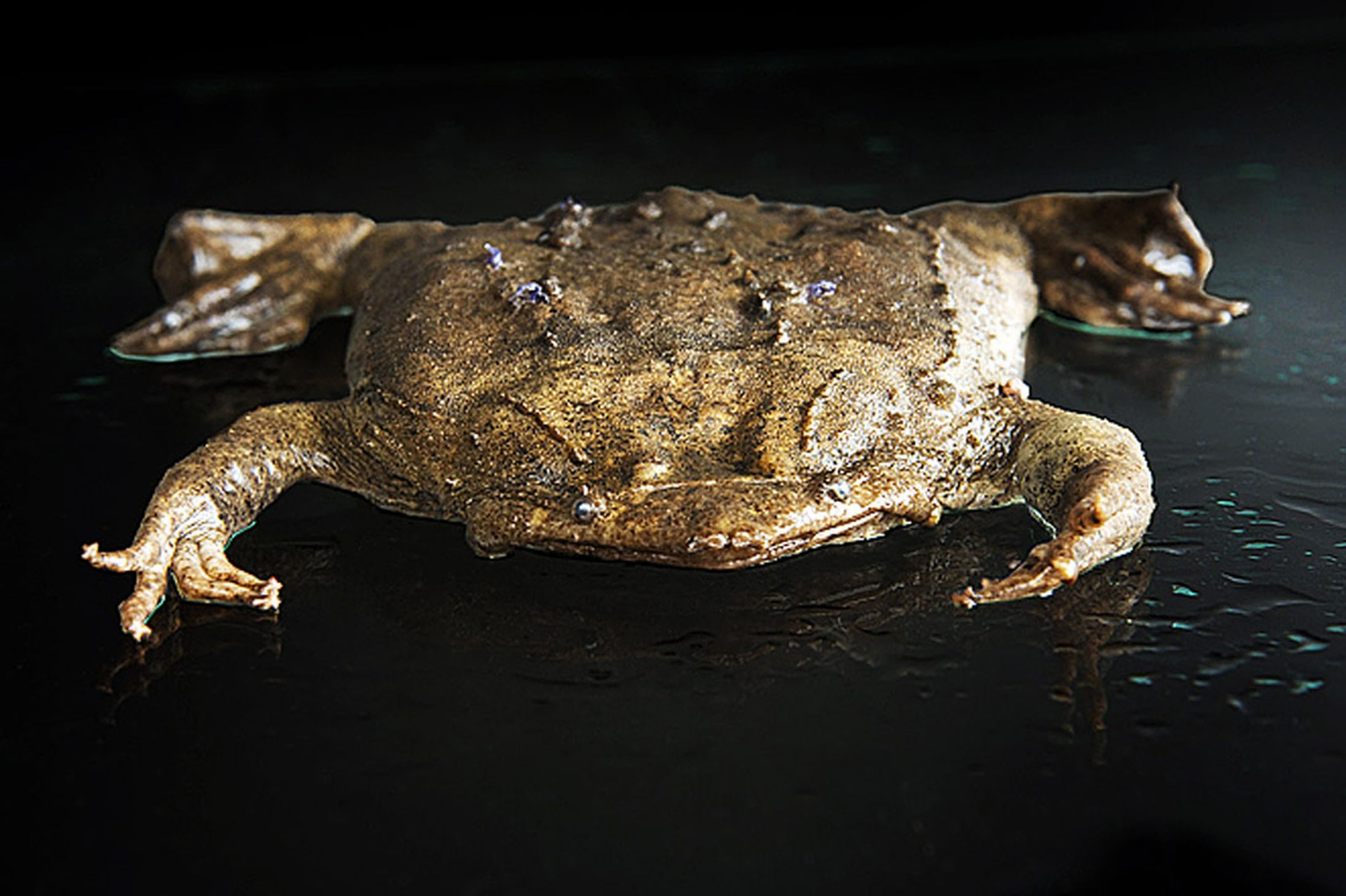 World's ugliest creatures: The kings of the mingers and why we must save them - #creatures #kings #mingers #ugliest #world - #frogtypes