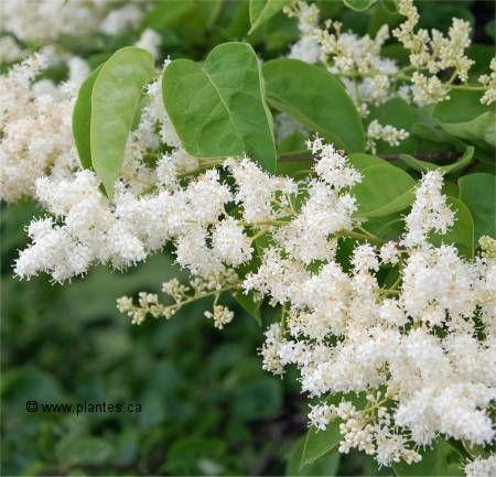 syringa reticulata lilas japonais nom anglais japanese