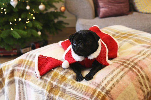 Nala Zoella S Pug Baby Pugs Pug Clothes