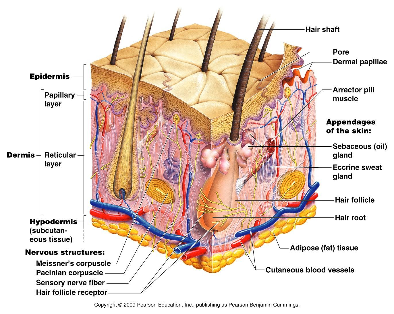 Skin Model Labeled Bing Images Biology Skin Anatomy