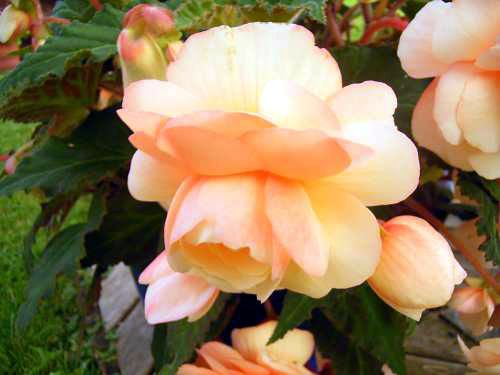 begonias pictures with names   Photos Begonia tuberosa -