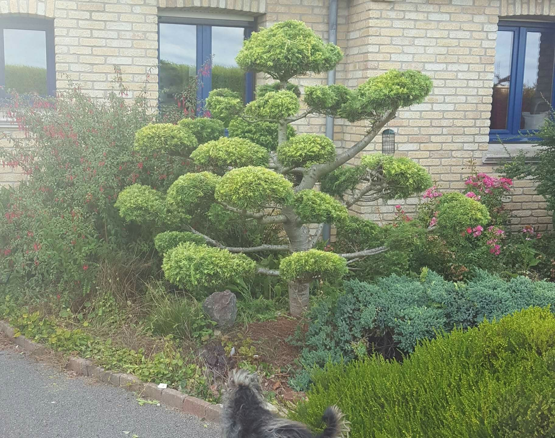 Cedre Dore Taille En Nuages Jardins Cedre Nuage