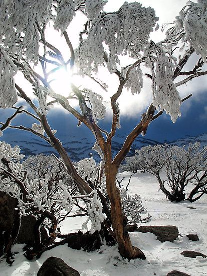 Snowgums 2 By David Sundstrom Winter Scenery Winter Scenes Nature Inspiration