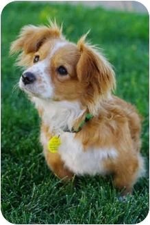 Veronica Adopted Dog Westminster Co Corgi Papillon Mix