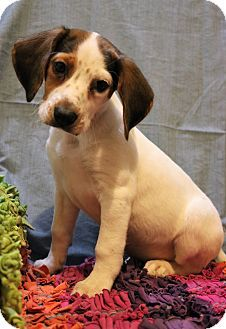 Hagerstown Md Beagle English Pointer Mix Meet Galahad A Puppy