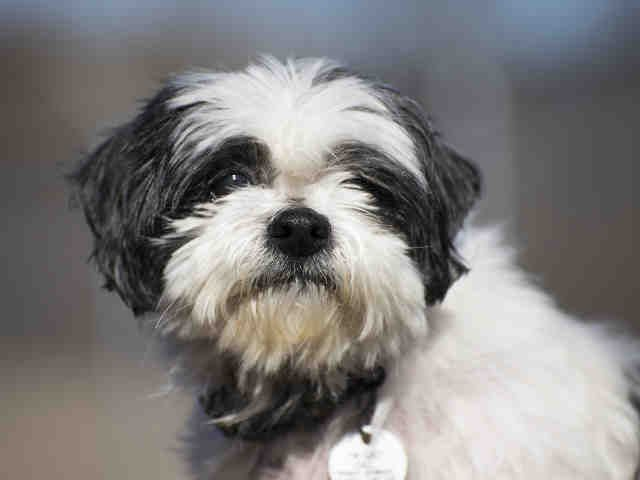 Shih Tzu Dog For Adoption In Forestville Md Adn 426767 On Puppyfinder Com Gender Male Age Senior Adopt Rescue Dogs Animal Shelter Shih Tzu Dog