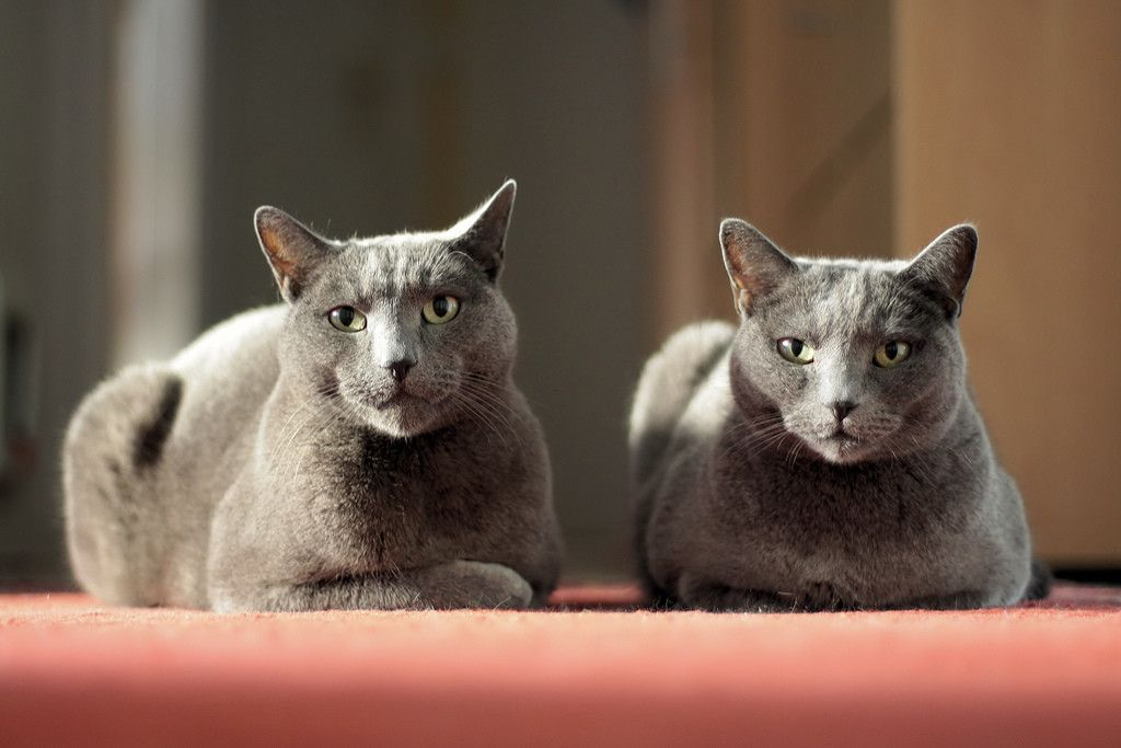 Adorable Purebred Russian Blue Kittens For Sale Adoption From Revesby New South Wales Adpost Com Classifieds Au In 2020 Russian Blue Kitten Russian Blue Blue Cats