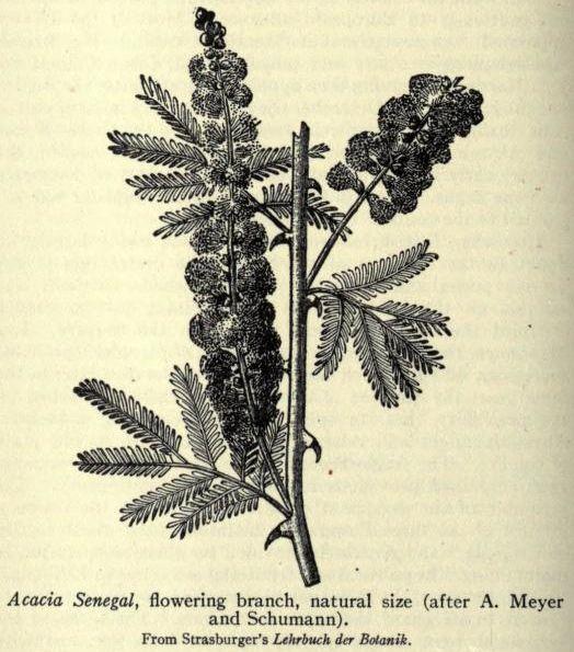 Acacia Senegal Tree Branch Drawing Branch Drawing Drawings Acacia Tree