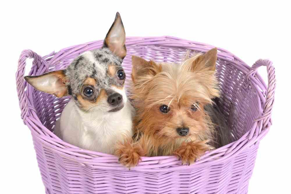 Yorkie Chihuahua Mix (A.K.A Chorkie) All You MUST know