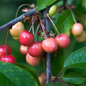 The White Cherries Of Dwarf Cherry Tree Merton Glory Are Large And Sweet The Heart Shaped Fruit Growing Cherry Trees Cherry Fruit Tree Cherry Tree Varieties