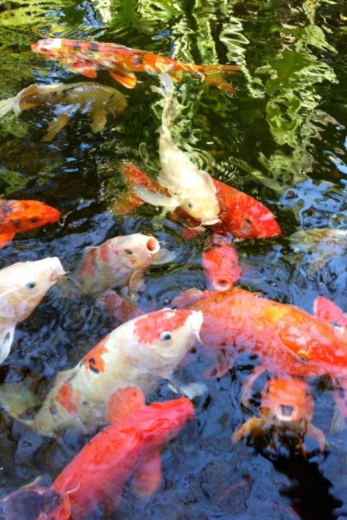 Koi Fish Poisson Rouge Bassin De Jardin