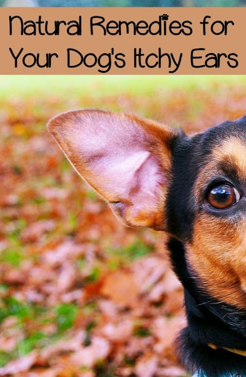 Itchy ears can be a source of constant torment for dogs. If you've ever seen a dog with irritated ears, the discomfort is obvious. They constantly rub and scratch, they shake their heads, and they …
