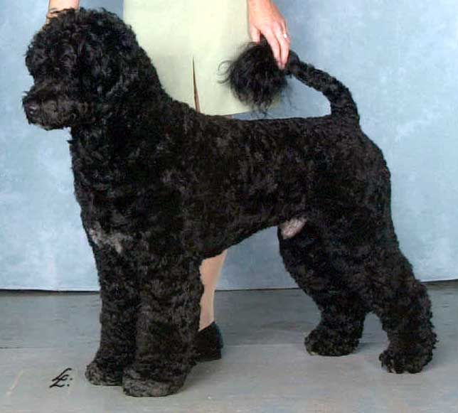 Portuguese Water Dog Retriever Clip Google Search Portugese