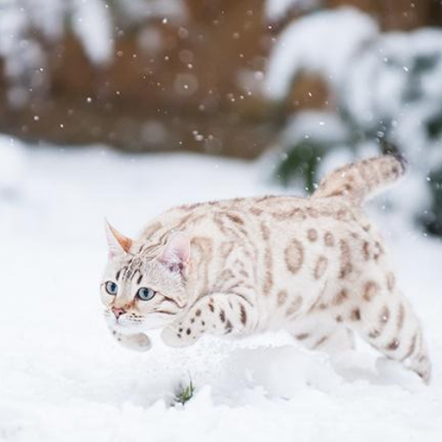 Best +30 Pictures of Bengal Cats and Kittens