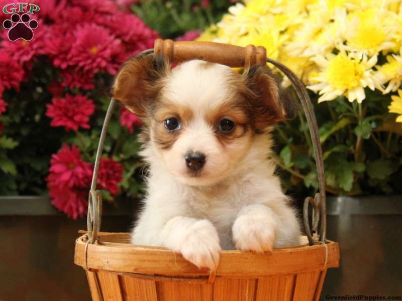 Misha Chihuahua Mix Puppy For Sale From New Holland Pa