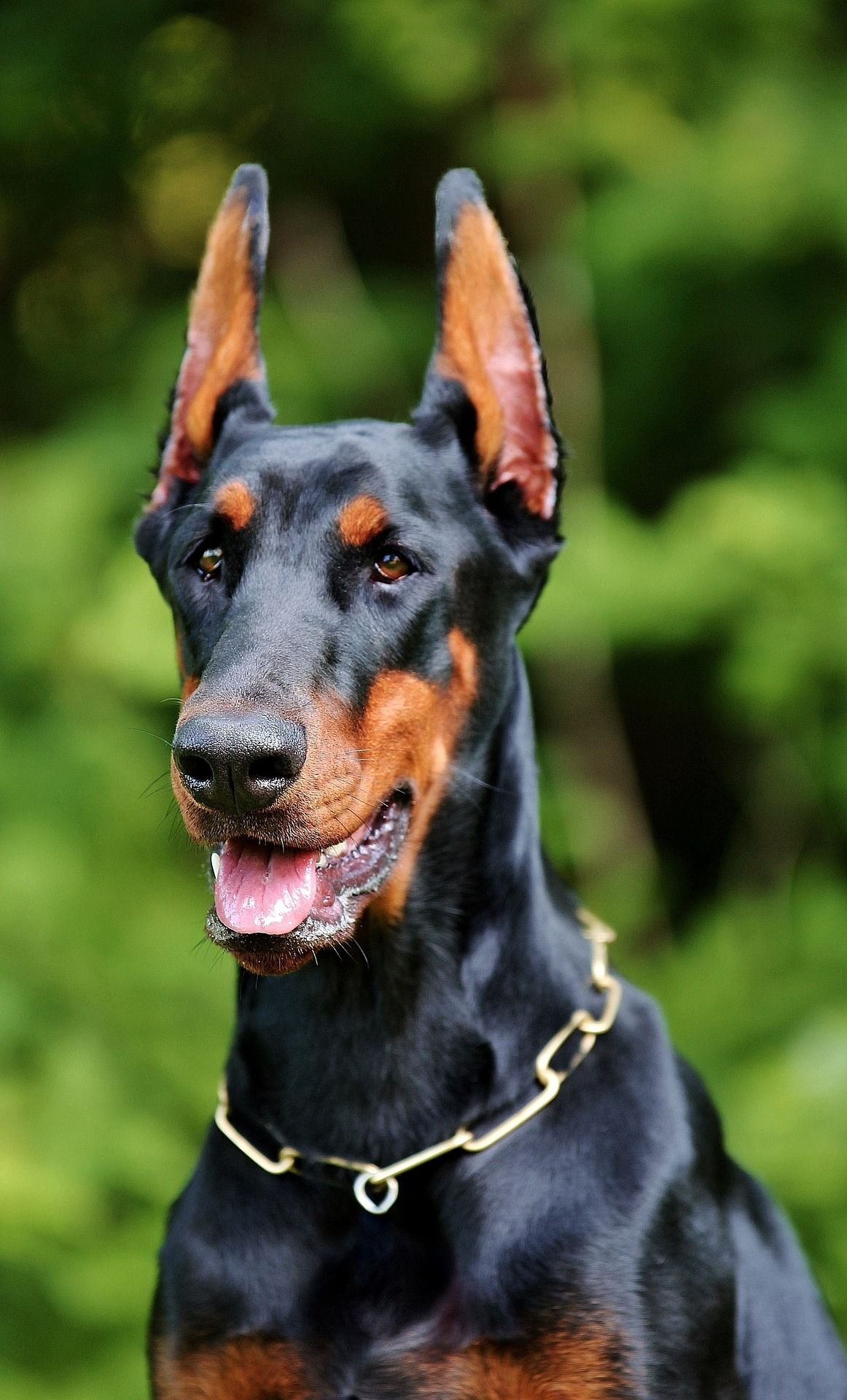 Is Your Dobermann Pinscher Driving You Crazy? Within Hours ... - photo#42