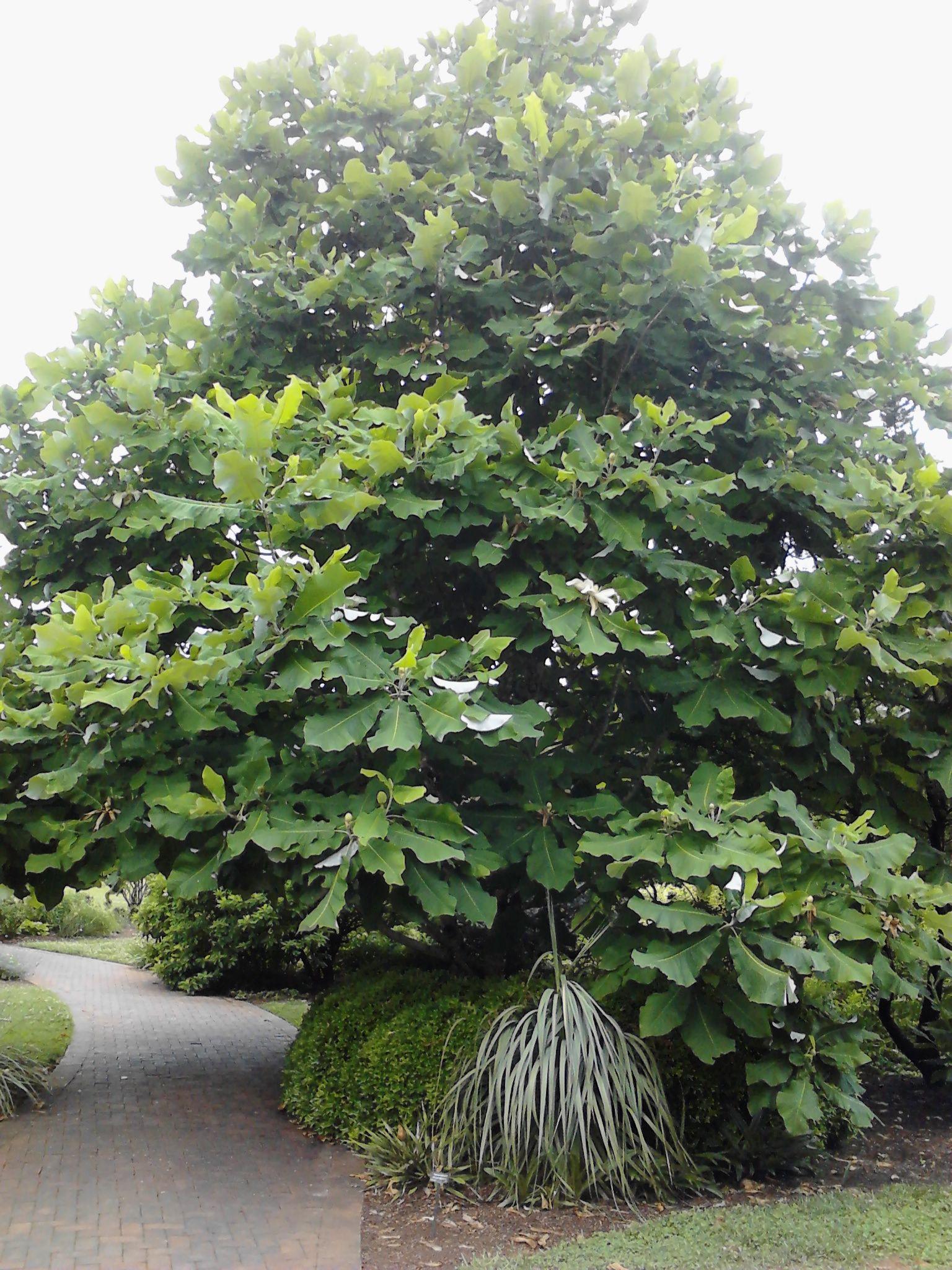 Beautiful Big Leaf Magnolia Tree Magnolia Dealbata Garden Exotic