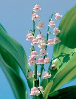 Pink Lily of the valley - one of my favorite flowers and in my most favorite color - PINK!