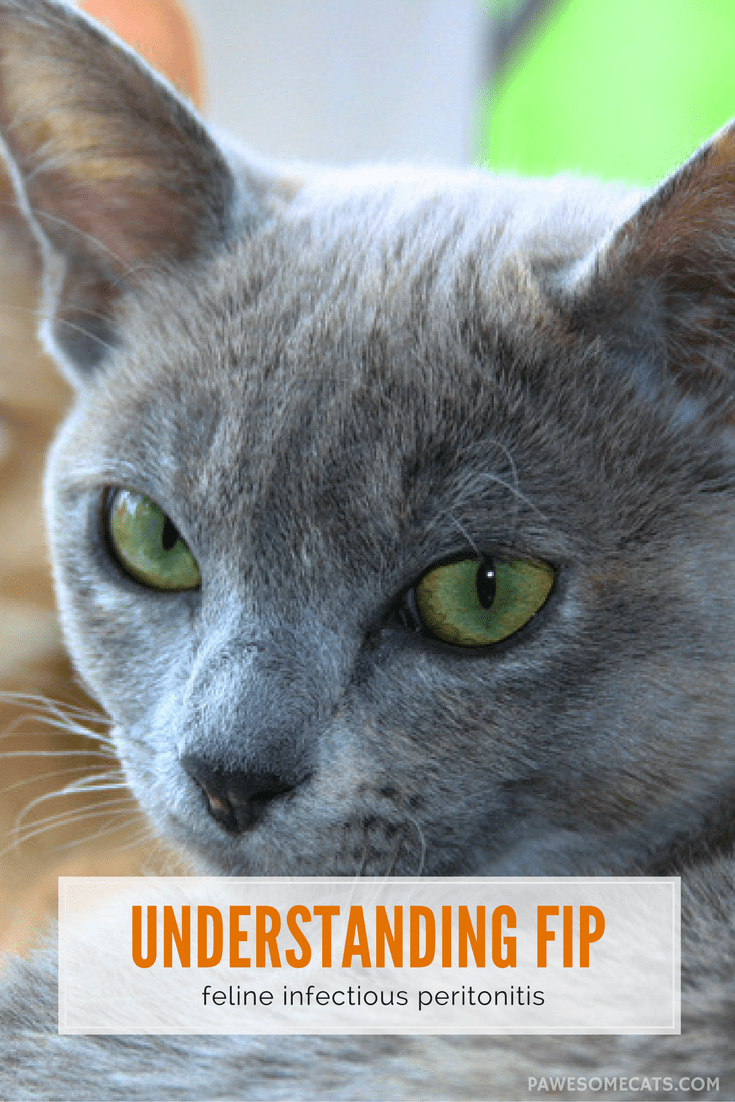 Signs and Symptoms of Feline Infectious Peritonitis (FIP