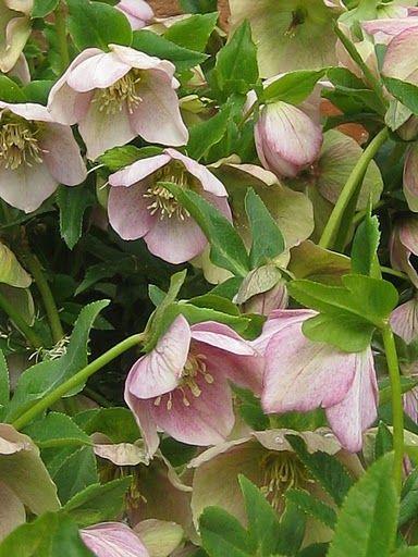 Lenten Rose Perennial Zones 5 8 Dry Shade I Dig It
