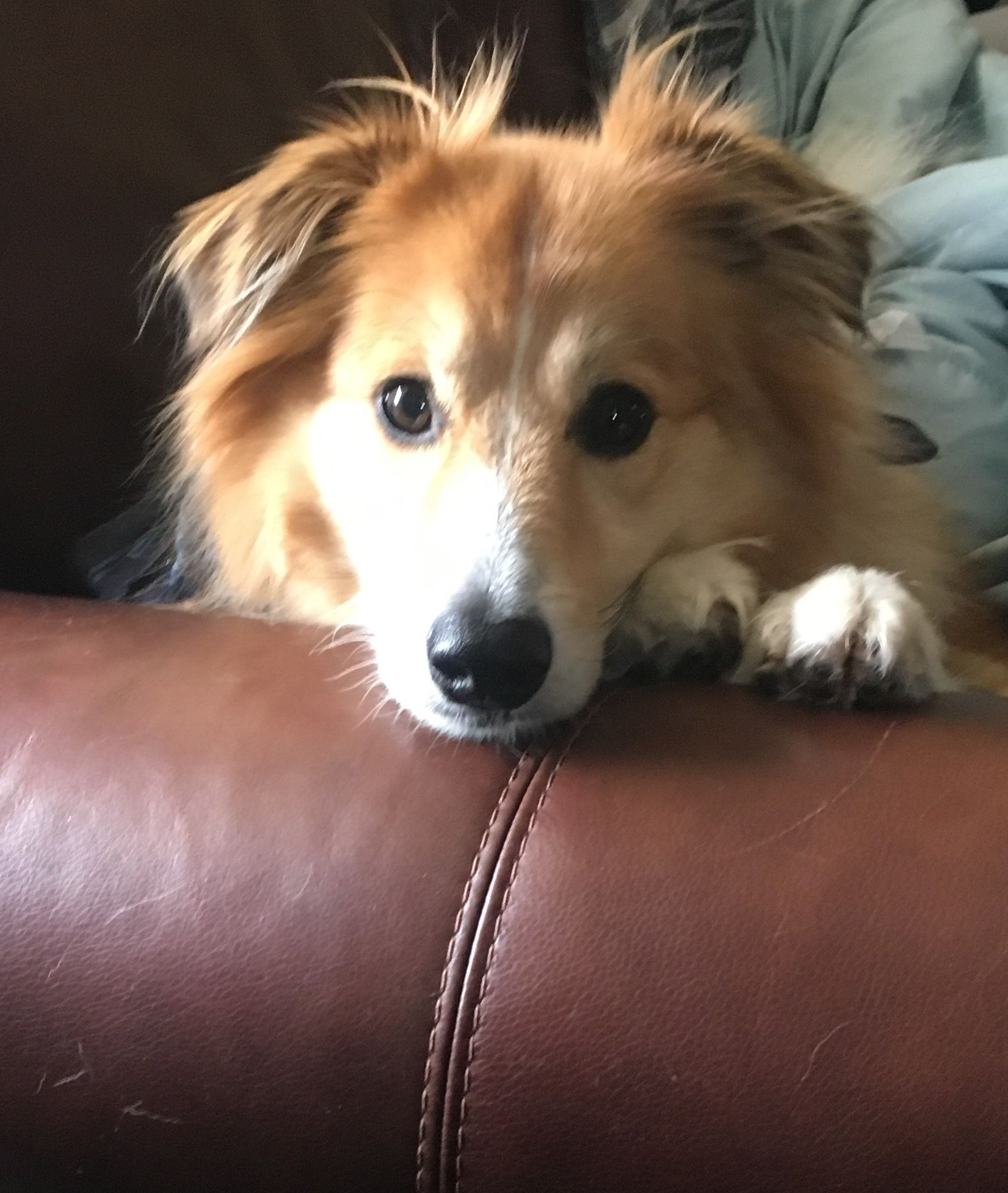 My Adorable Sheltie Mix Dog Mixes Sheltie Cute Dogs
