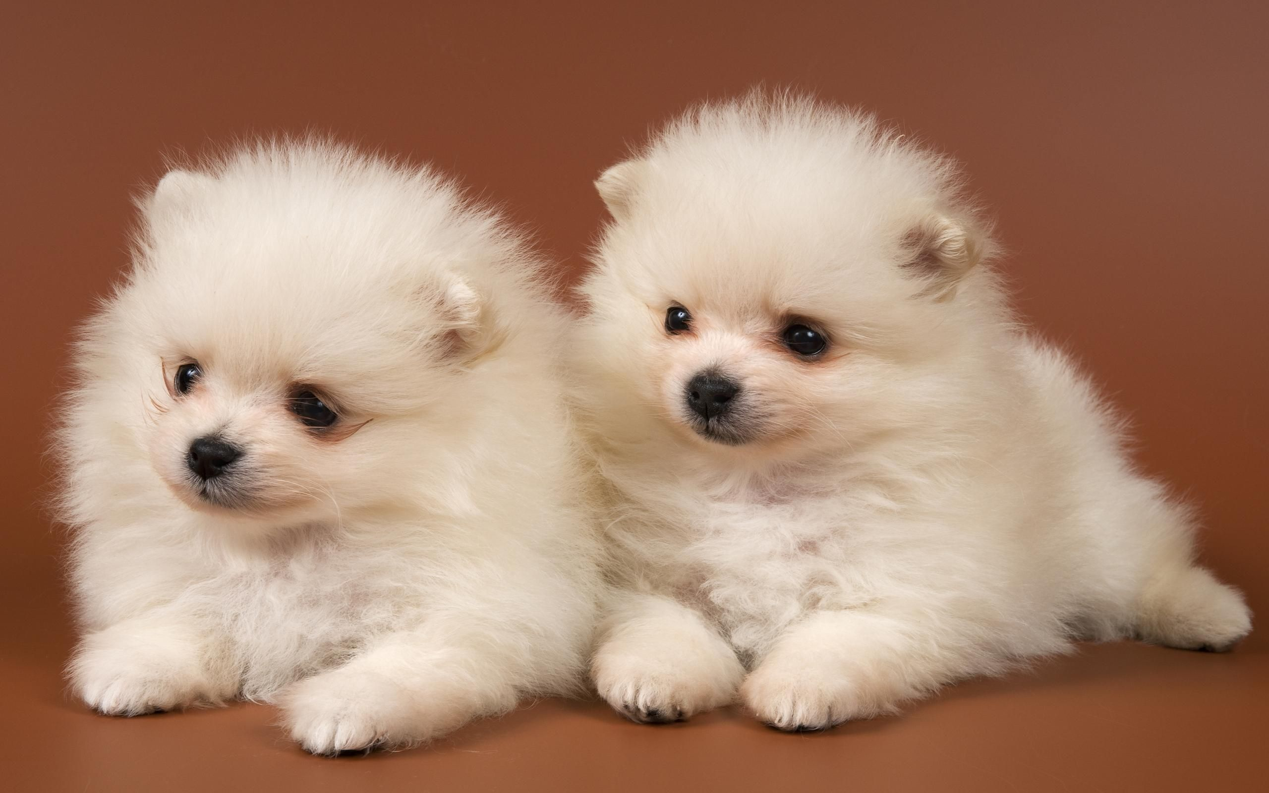 Pomsky Puppies Pictures #6928797