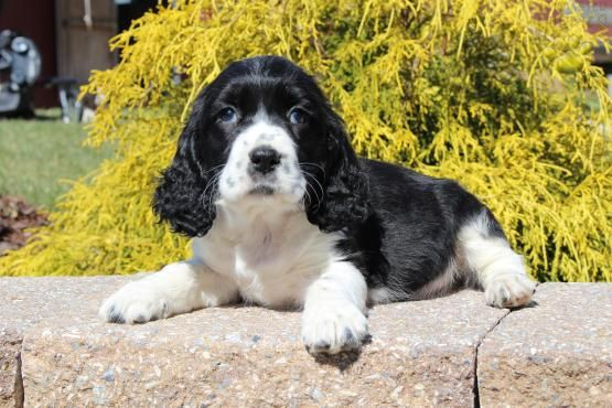 April English Springer Spaniel Puppy For Sale In New Holland Pa