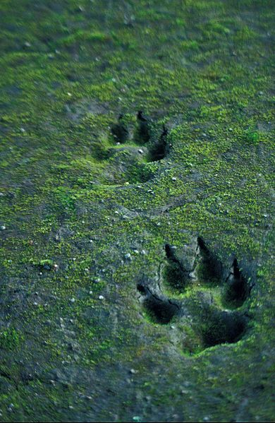 Wolf Animal And Footprint Image An Princess Mononoke Wolf