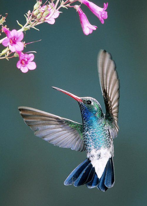 Broad-billed Hummingbird Greeting Card for Sale by