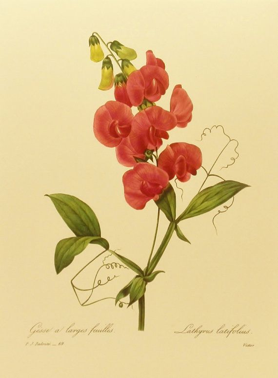 Vintage Red Flower Print Everlasting Sweet Pea Redoute Flowers Botanical Ilration Wall Art