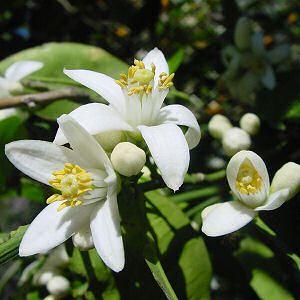 Florida State Flower Orange Blossom Citrus Sinensis Orange Blossom Flowers Edible Flowers