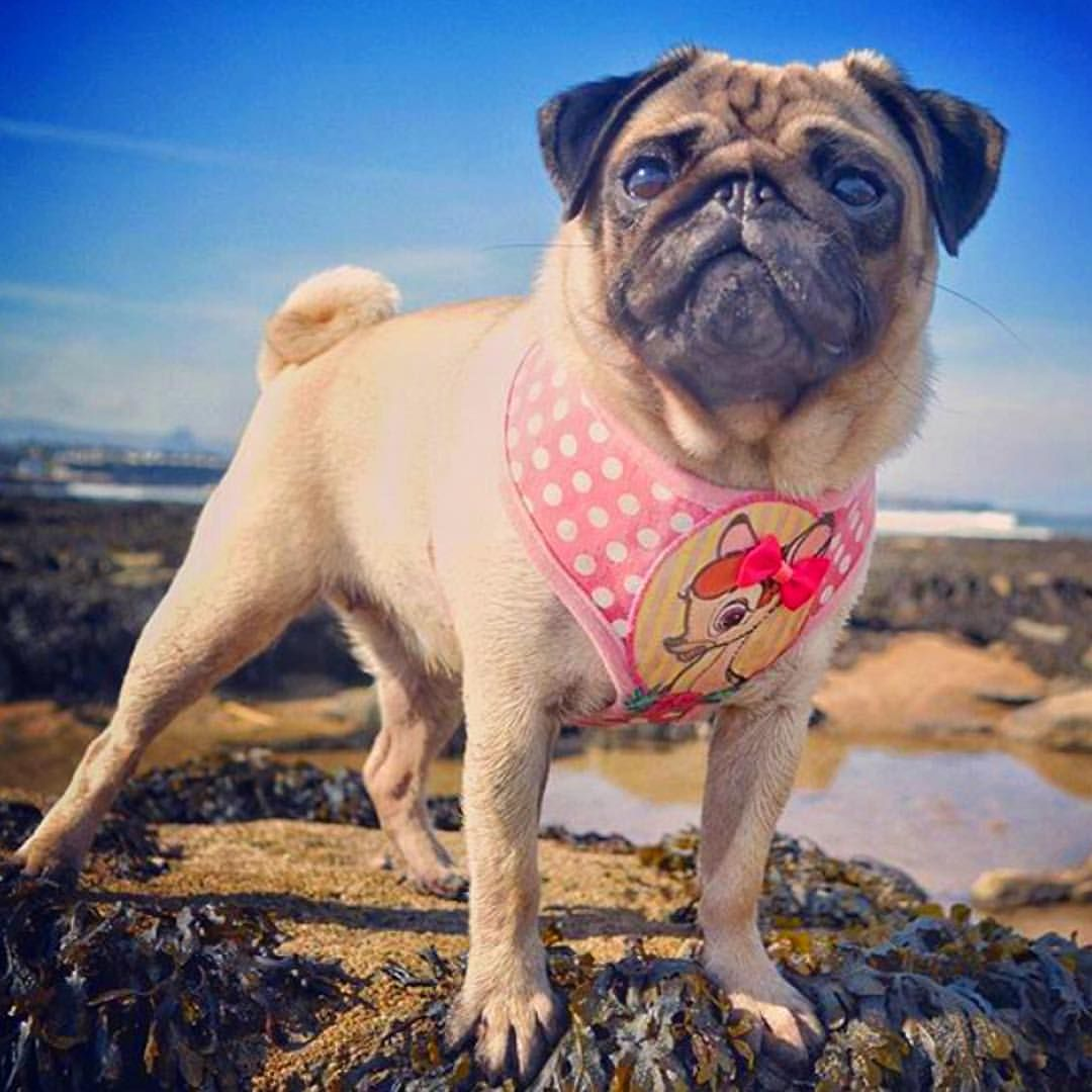 612 Likes 34 Comments Home Is Where The Pug Is Home Is Where The Pug Is On Instagram I Ju Cute Animal Pictures Pug Obsessed Pretty Sky