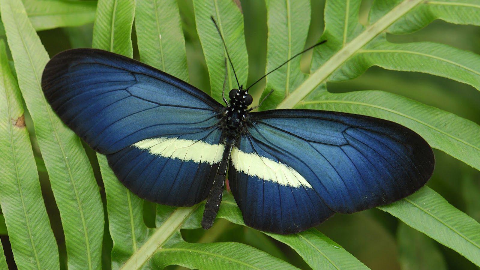 Blue butterfly on green leaf wallpaper HD Animals