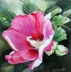 pink hibiscus in watercolor
