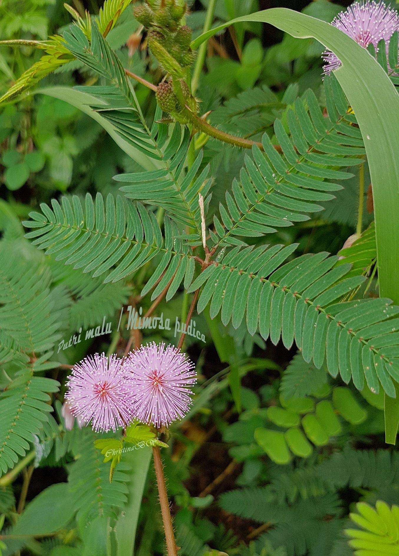 Tanaman Liar Yang Dikenal Dengan Sebutan Putri Malu Atau Mimosa Pudica Ini Adalah Perdu Pendek Anggota Suku Polong Polongan Daun D Tanaman Perdu Tanaman Obat
