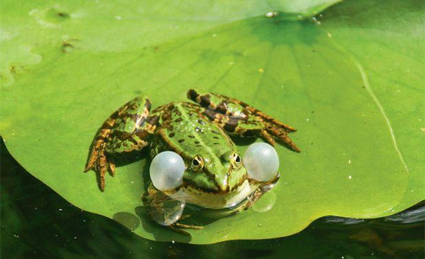 Frosch im teich teiche lebensr ume und deins for Welche tiere fressen algen im teich
